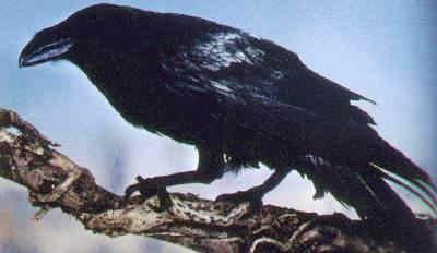Real Crow